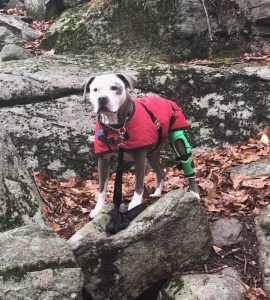 Am I done with this thing yet? —Weaning your dog from your My Pet's Brace Knee Brace 1