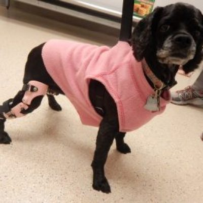 Case Study: Lucy – a Cocker Spaniel with a Stifle Brace for a Postsurgical CCL Repair