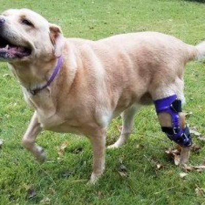 Case Study: Denali – a Labrador Retriever with a CCL tear in her left hind leg