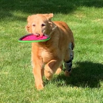 Case Study: Rockne – a Golden Retriever with a CCL Tear in her Left Hind Leg