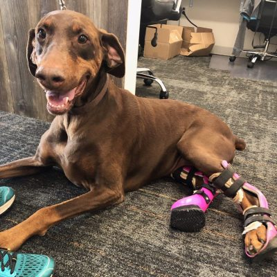 Case Study: Sadie – Doberman Pinscher with Bilateral Gastrocnemius Injuries