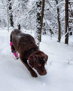 Snow - Dog with Knee Brace