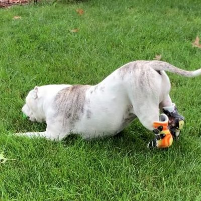 Case Study: Miley – American Bulldog With Bilateral Achilles Tendon Ruptures