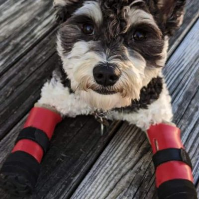 Case Study: Paddington Bear – Coton de Tulear With Bilateral Front Prostheses