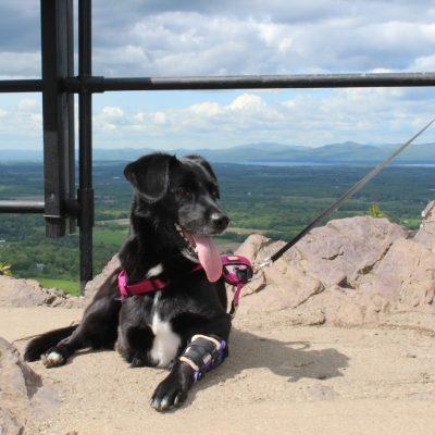 Case Study: Scout – Tripod Labrador Retriever Mix With An Elbow Brace